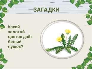 ЗАГАДКИ Какой золотой цветок даёт белый пушок?