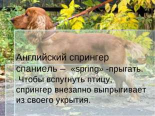 Английский спрингер спаниель – «spring» -прыгать. Чтобы вспугнуть птицу, спри