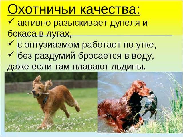 Охотничьи качества: активно разыскивает дупеля и бекаса в лугах, с энтузиазмо...