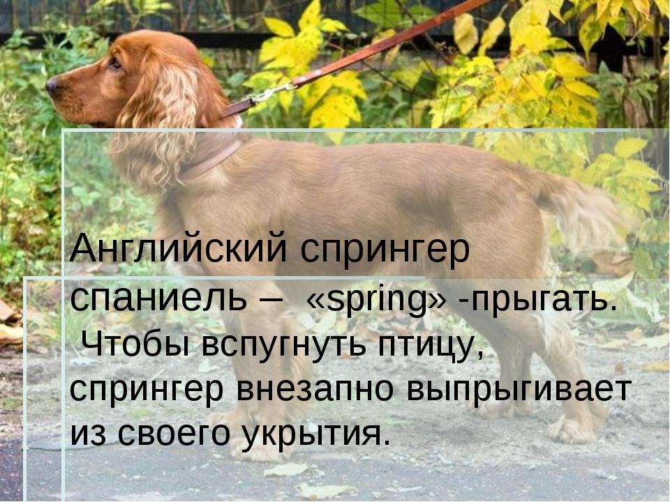 Английский спрингер спаниель – «spring» -прыгать. Чтобы вспугнуть птицу, спри...