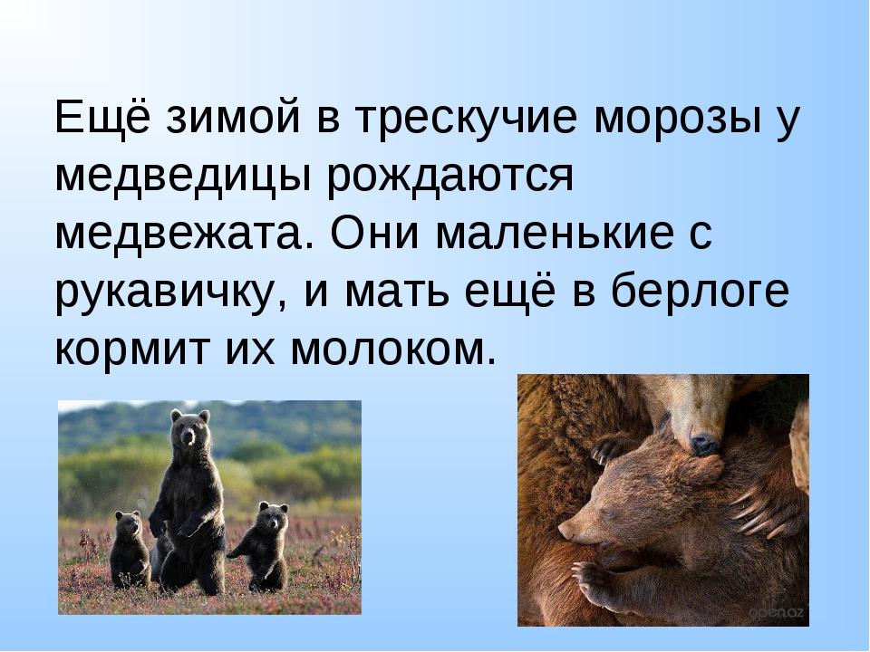 Ещё зимой в трескучие морозы у медведицы рождаются медвежата. Они маленькие с...
