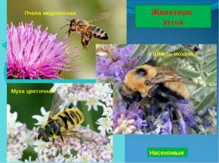 Животные лугов Насекомые Шмель моховой Пчела медоносная Муха цветочная