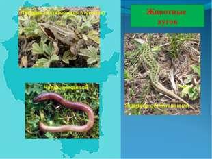 Животные лугов Лягушка остромордая (луговая) Ящерица обыкновенная Червь дожде