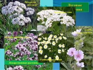 Луговые растения Лекарственные растения Валериана аптечная Душица обыкновенна