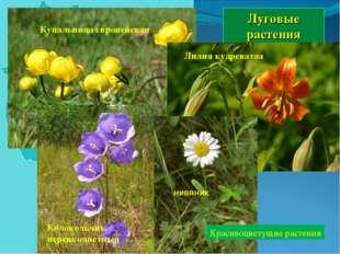 Луговые растения Купальница европейская Лилия кудреватая Колокольчик персикол