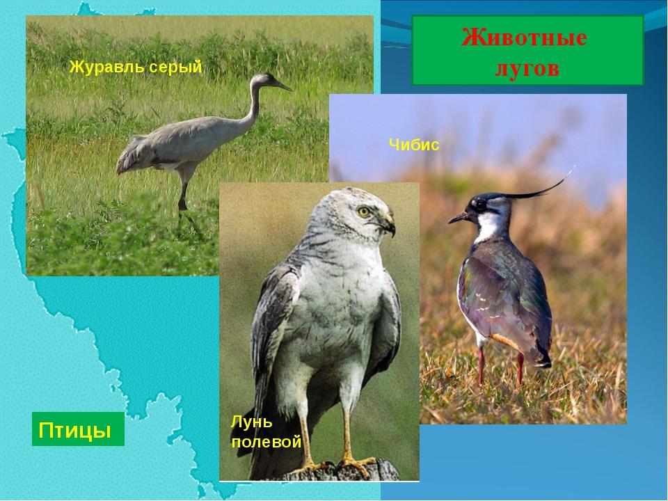 Животные лугов Птицы Лунь полевой Чибис Журавль серый