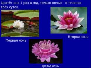 Цветёт она 1 раз в год, только ночью в течение трёх суток. Первая ночь Вторая