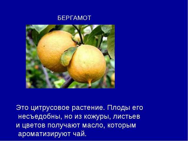 БЕРГАМОТ Это цитрусовое растение. Плоды его несъедобны, но из кожуры, листьев...