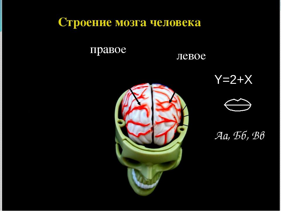Строение мозга человека правое левое Y=2+X Аа, Бб, Вв