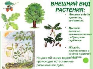 Листья у дуба простые, зубчатые. Цветки мелкие, малозаметные; образуют серёжк