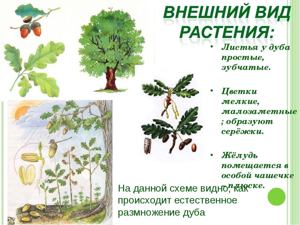 Листья у дуба простые, зубчатые. Цветки мелкие, малозаметные; образуют серёжк...