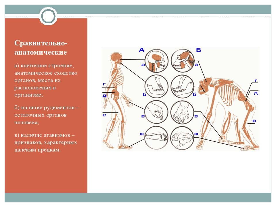 Сравнительно-анатомические а) клеточное строение, анатомическое сходство орга...