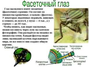 Глаз насекомого имеет мозаичное (фасеточное) строение. Он состоит из множест