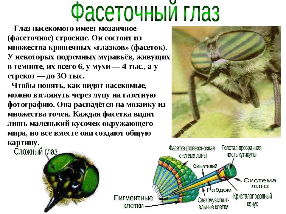 Глаз насекомого имеет мозаичное (фасеточное) строение. Он состоит из множест...