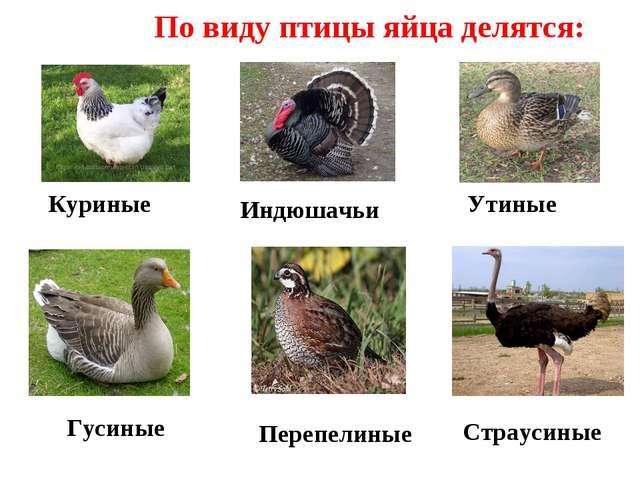 По виду птицы яйца делятся: Куриные Утиные Страусиные Индюшачьи Перепелиные Г...