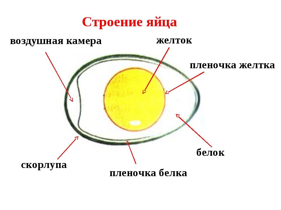 Строение яйца скорлупа пленочка желтка желток белок пленочка белка воздушная...