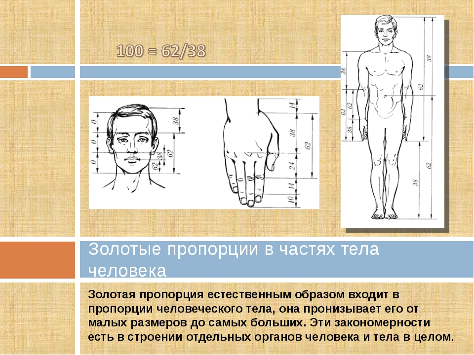 Золотая пропорция естественным образом входит в пропорции человеческого тела,...