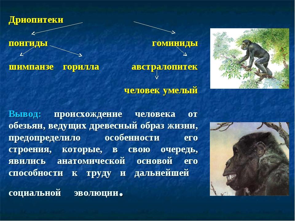 Дриопитеки понгиды гоминиды шимпанзе горилла австралопитек человек умелый Выв...