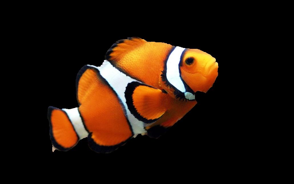 Оранжевая рыба клоун обои, фото, картинки.