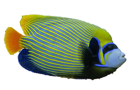 Pomacanthus-imperator-3