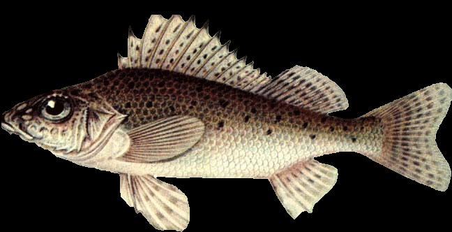 Ерш обыкновенный Рыбалка и охота в Казахстане