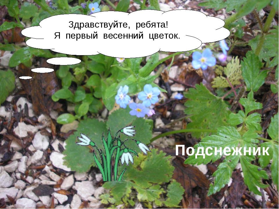 Здравствуйте, ребята! Я первый весенний цветок. Подснежник