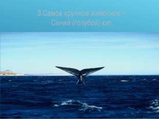 3.Самое крупное животное – Синий (голубой) кит.