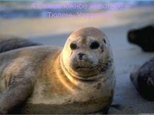 4.Самое южное животное – Тюлень Уэдделла.