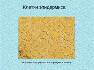 Клетки эпидермиса Постоянно слущиваются и образуются новые.