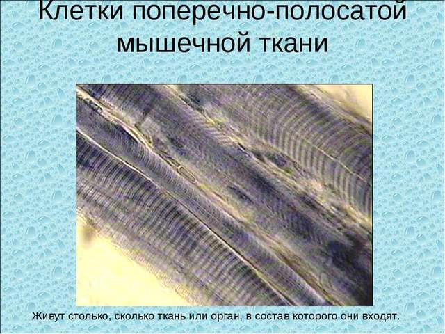 Клетки поперечно-полосатой мышечной ткани Живут столько, сколько ткань или ор...