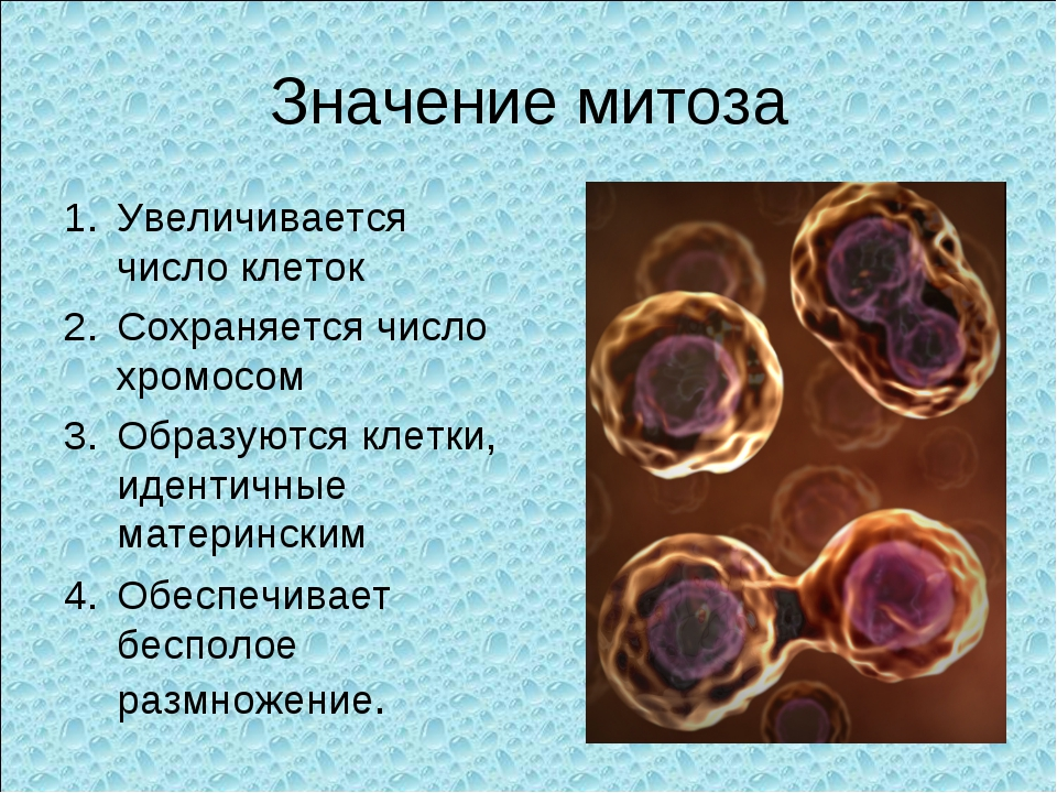 Значение митоза Увеличивается число клеток Сохраняется число хромосом Образую...