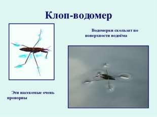 Клоп-водомер Водомерки скользят по поверхности водоёма Эти насекомые очень пр