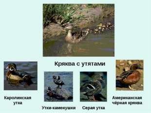 Кряква с утятами Серая утка Американская чёрная кряква Каролинская утка Утки-