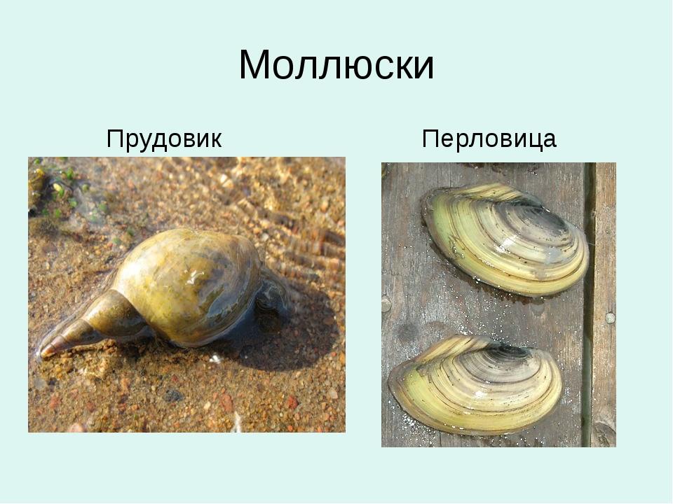 Моллюски Прудовик Перловица