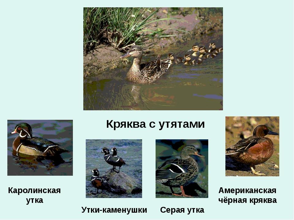Кряква с утятами Серая утка Американская чёрная кряква Каролинская утка Утки-...