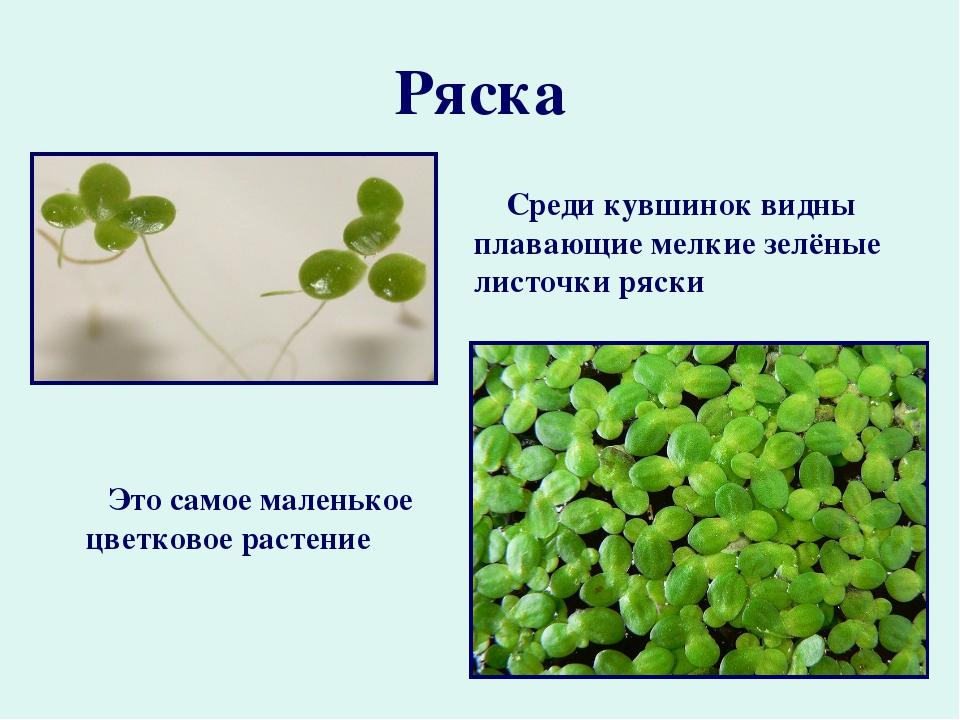 Ряска Это самое маленькое цветковое растение Среди кувшинок видны плавающие м...