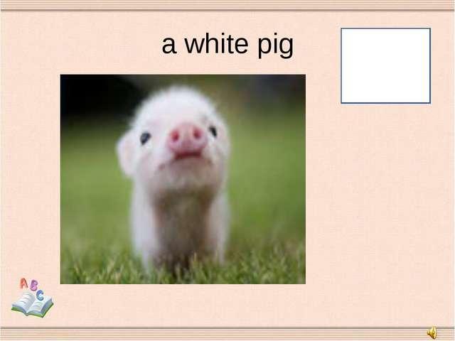 a white pig