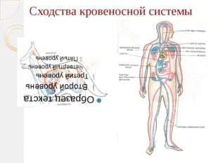 Сходства кровеносной системы