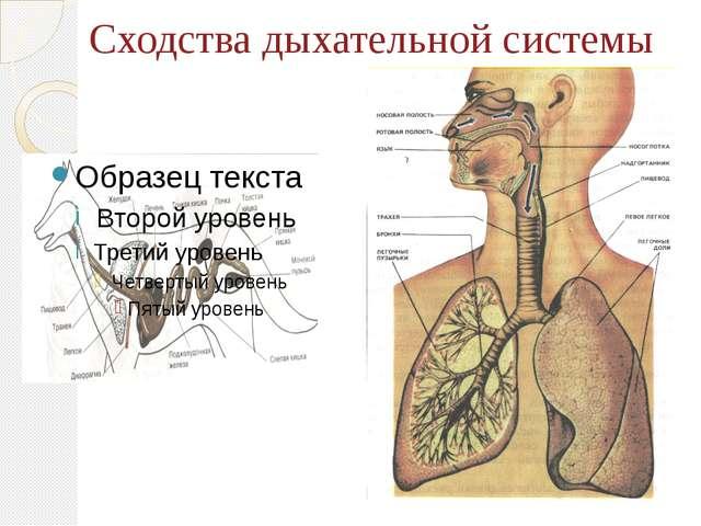 Сходства дыхательной системы