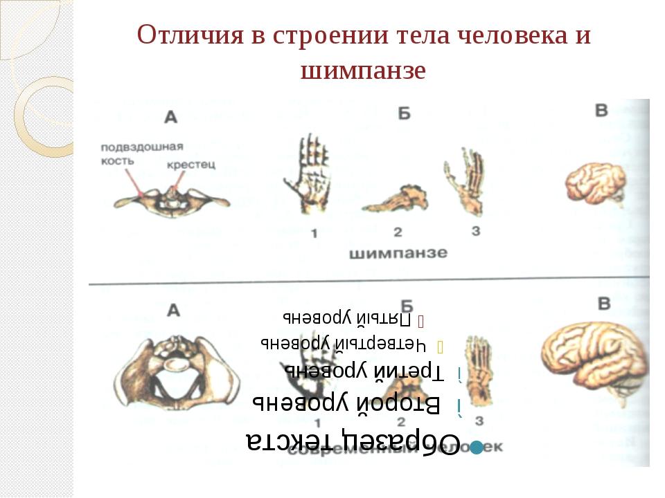 Отличия в строении тела человека и шимпанзе
