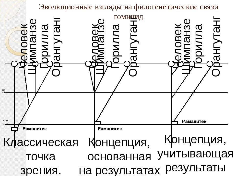 Эволюционные взгляды на филогенетические связи гоминид 5 10 Рамапитек Рамапит...