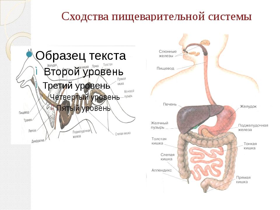 Сходства пищеварительной системы