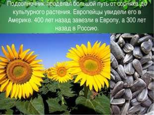 Подсолнечник проделал большой путь от сорняка до культурного растения. Европе