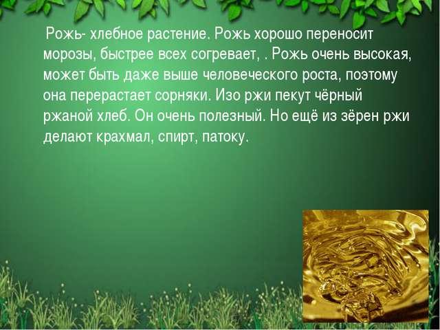 Рожь- хлебное растение. Рожь хорошо переносит морозы, быстрее всех согревает...
