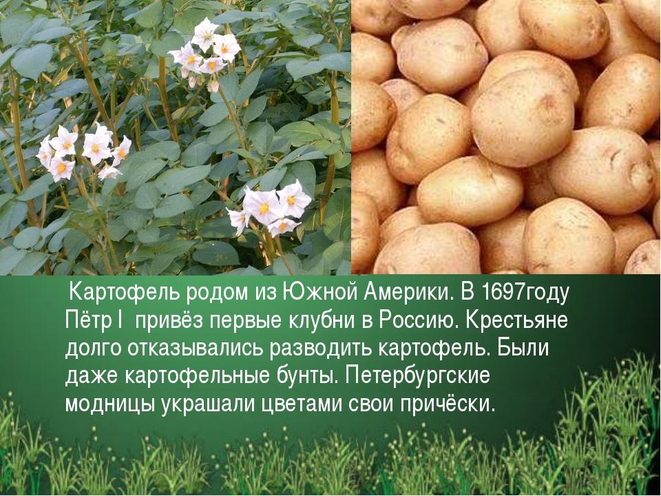 Картофель родом из Южной Америки. В 1697году Пётр I привёз первые клубни в Р...