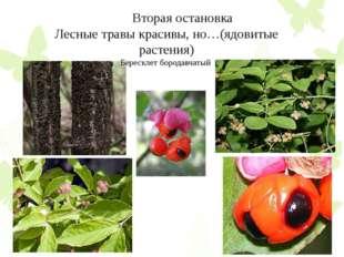 Вторая остановка Лесные травы красивы, но…(ядовитые растения) Бересклет боро