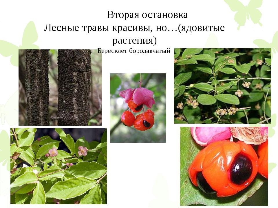 Вторая остановка Лесные травы красивы, но…(ядовитые растения) Бересклет боро...