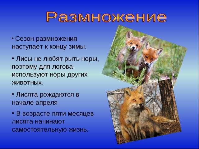 Сезон размножения наступает к концу зимы. Лисы не любят рыть норы, поэтому д...