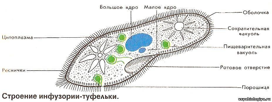 H:\2010-2011 учебный год\Новая папка К УРОКАМ БИОЛОГИЯ\7 класс Биология\Урок № 10 Тип Инфузории\869730991.jpg
