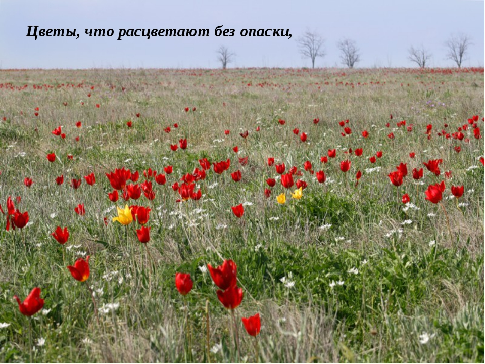 Цветы, что расцветают без опаски,